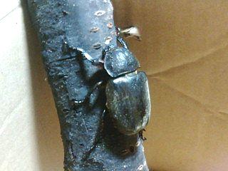 カブト虫のメス